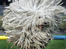 Puli, Dog, Hungarian Dog Breed,